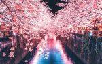 読者様投稿記事 新大久保『春の夢』大久保通りの人混みより、早く桜が見たい今日この頃です